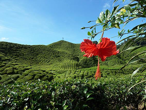 malaysia-cameron-highlands_002