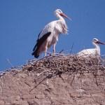 Vit stork. Marrakech