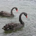 Svarta svanar. Rotorua