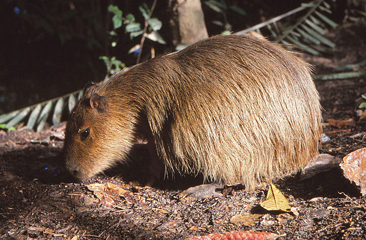 Kapybara. Amazonas
