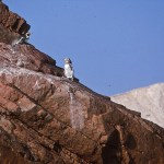 Humboltpingviner. Islas Ballestas