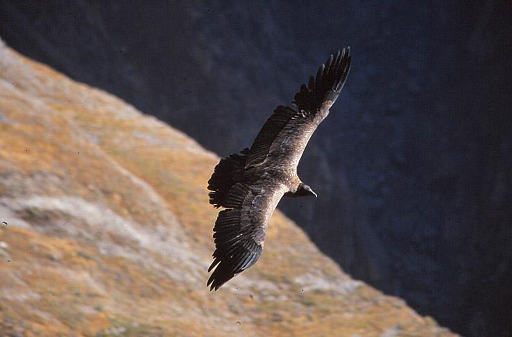 Kondor. Colca Canyon