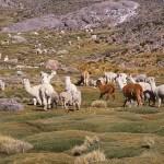 Lamaflock på vägen mot Nasca