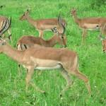 Impalaantiloper. Imfolozi National Park