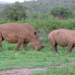 Spetsnoshörningar. Imfolozi National Park