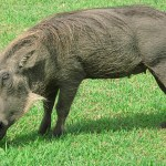 Vårtsvin. Imfolozi National Park