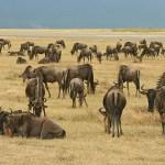 Gnuer. Ngorongoro N P