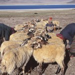 Nomader på den tibetanska högplatån