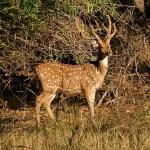 Axishjort. Bandhavgarh