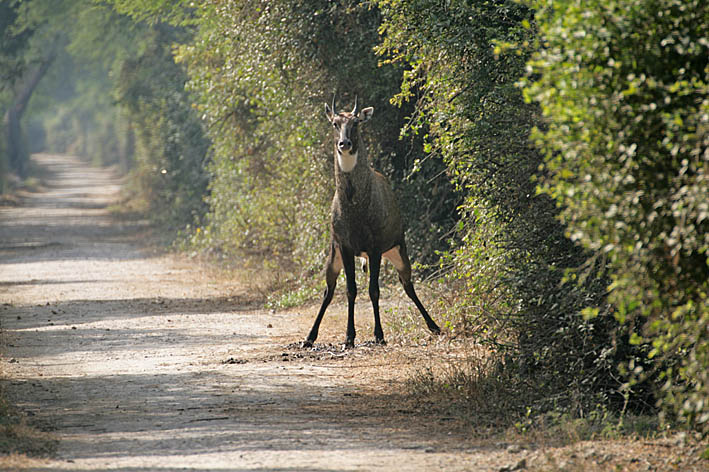 Ängslig antilop. Keoladeo (U)