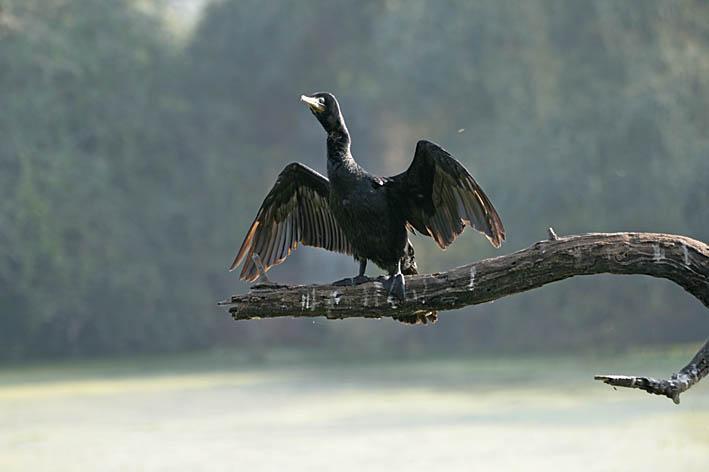 Black cormorant. Keoladeo
