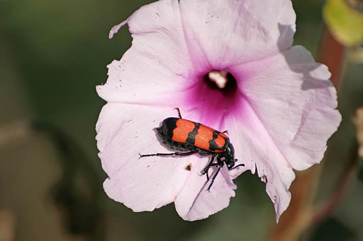 Insekt. Keoladeo
