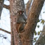 Förvånad makak? Chitwan National Park (U)