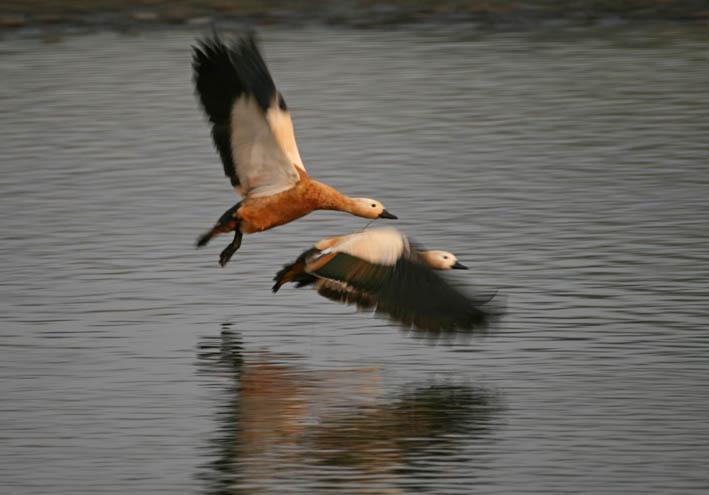 Sibiriska roständer. Chitwan National Park (U)