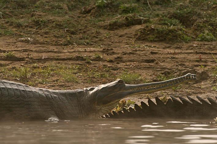 Gavial. Chitwan National Park (U)
