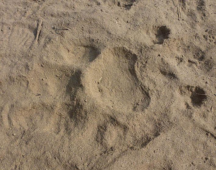 Batolycka i indiskt tigerreservat