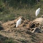 Kohägrar på noshörningskadaver. Chitwan National Park (U)