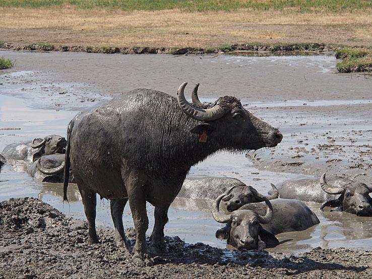 Vattenbufflar. Pustan. Hortobagy National Park (U)