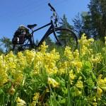 Cykla på Åland. Dikesren full med gullvivor. Vårdö