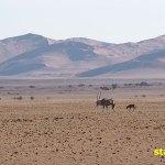Oryx. Sossusvlei