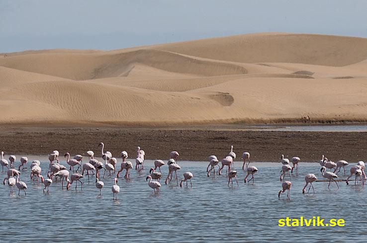 Flamingos. Walvis Bay