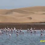 Flamingos. Walvis Bay