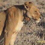 Lejon. Etosha National Park