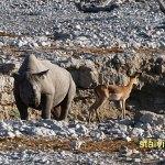 Spetsnoshörning. Etosha National Park