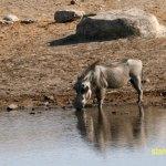 Vårtsvin. Etosha National Park