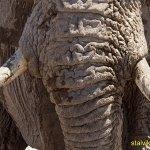 Close up! Elefant. Etosha National Park