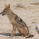Schakal. Etosha National Park