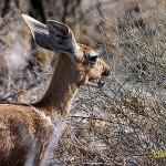 Stenantilop. Etosha National Park