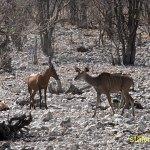 Koantilop. Etosha National Park
