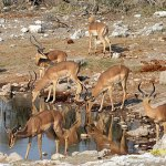 Impalaantilop. Etosha National Park