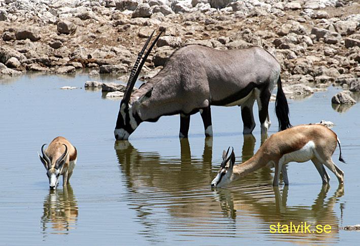 Oryx. Etosha National Park