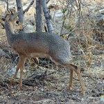 Damara dik dik. Etosha National Park