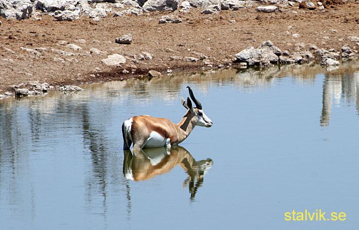 Springbock. Etosha National Park