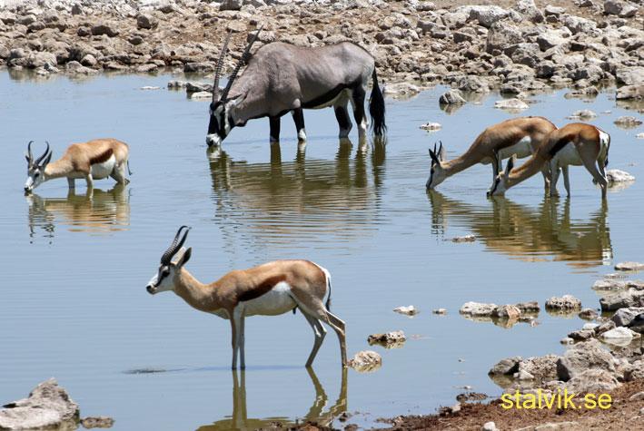 Springbock och oryx. Etosha National Park