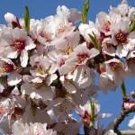 I mars blommar mandelträden. Cuenca