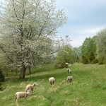 Blommande körsbärsträd. Valle härad