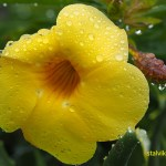 Det blommade vackert på La Palma. Cancajos