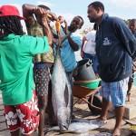 Vägning av tonfisk. Santa Maria