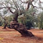 domineras av vackra olivträd.