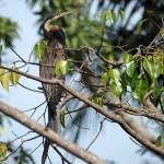 Ormhalsfågel. Abuko Nature Reserve