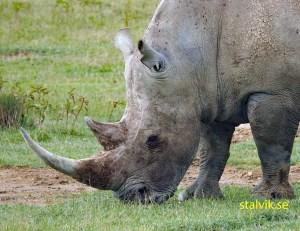 Vit noshörning, även Trubbnoshörning