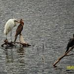 Vit häger och afrikansk ormhalsfågel