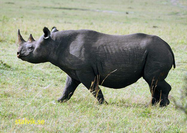 Svart noshörning