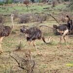 Somaliastruts, ungfåglar