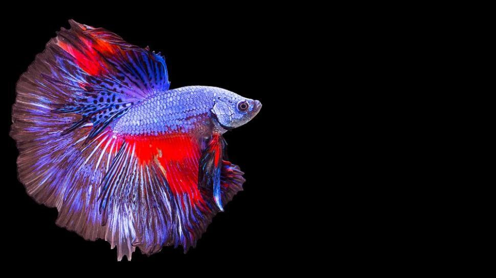 Cara Ternak Ikan Cupang Lengkap Dari Memilih Induk Sampai Panen