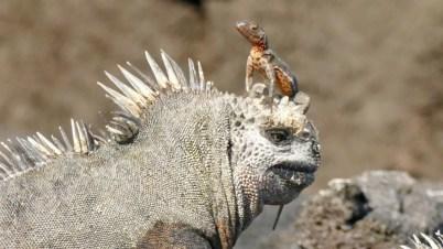 Marine iguana med lava lizard